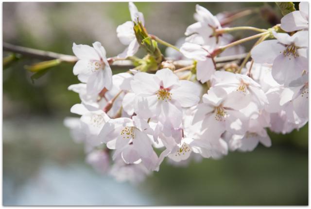弘前さくらまつり 桜 さくら サクラ 観光 青森県 弘前市 弘前公園 弘前城