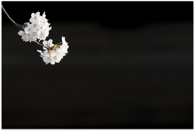 弘前さくらまつり 青森県 観光 弘前市 弘前城 弘前公園 石垣 桜 さくら サクラ 天守