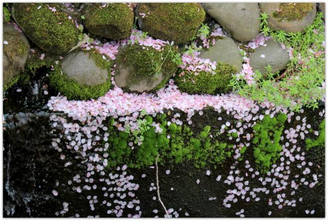 青森県 平川市 猿賀神社 猿賀公園 桜 カルガモ 野鳥 鳥の写真 花の写真