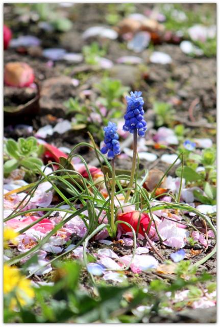 青森県 平川市 猿賀神社 猿賀公園 桜 カルガモ 野鳥 鳥の写真 花の写真 ムスカリ