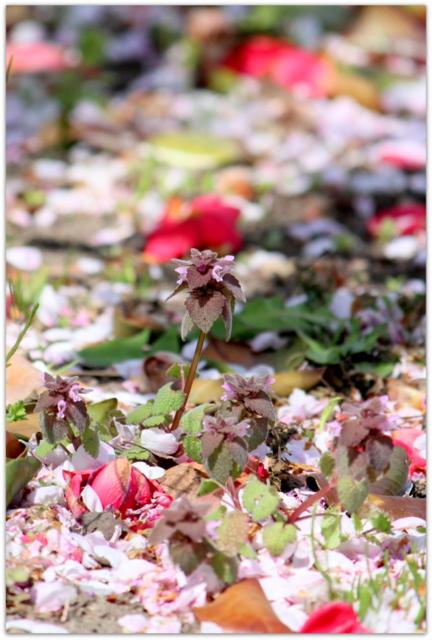 青森県 平川市 猿賀神社 猿賀公園 桜 カルガモ 野鳥 鳥の写真 花の写真 ヒメオドリコソウ