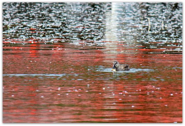 青森県 平川市 猿賀神社 猿賀公園 桜 カルガモ 野鳥 鳥の写真 花の写真 カルガモ