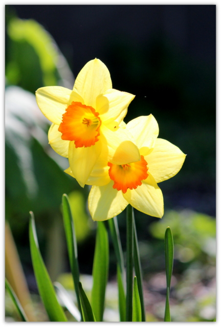 スイセン 花の写真
