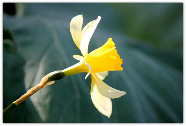 スイセン 庭の花