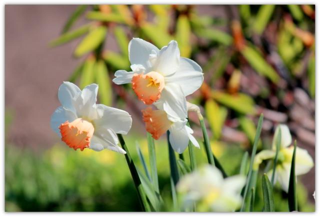 花の写真 スイセン