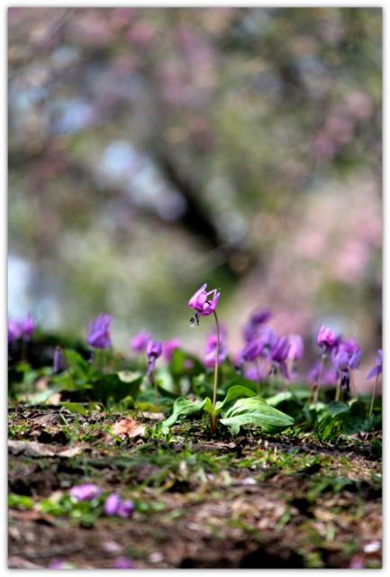 青森県 弘前市 観光 岩木山 桜林公園 カタクリ 花の写真