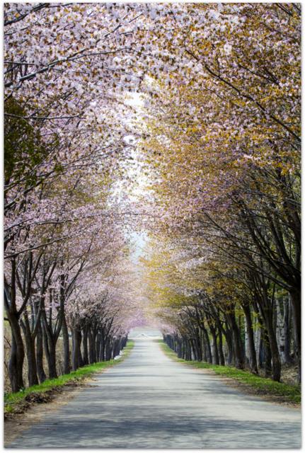 青森県 弘前市 観光 岩木山 オオヤマザクラ ネックレスロード 桜並木