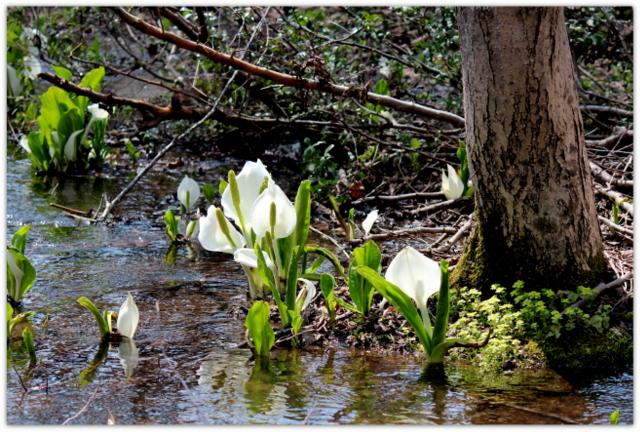 青森県 弘前市 常盤野 ミズバショウ沼 水芭蕉 観光 花の写真