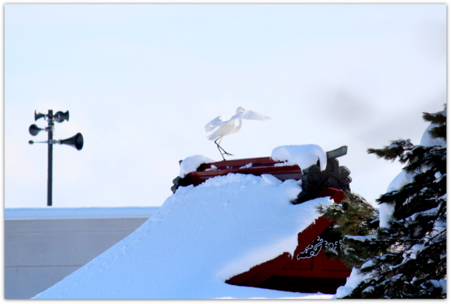 ダイサギ 白鷺 野鳥 写真 鳥 青森県 平川市 猿賀神社 猿賀公園