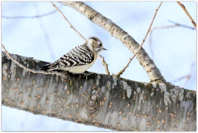 コゲラ 野鳥 鳥 写真 青森県 弘前市 弘前公園 弘前城