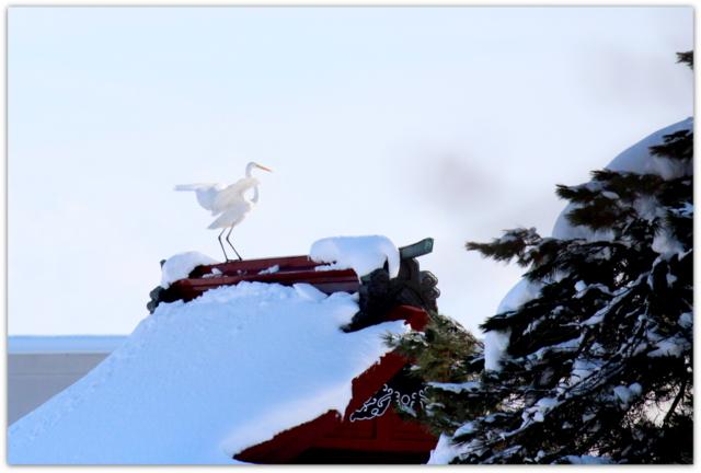猿賀神社 ダイサギ 白鷺 野鳥 鳥 写真 青森県 平川市 猿賀神社 猿賀公園
