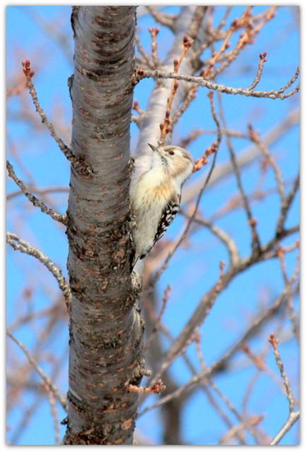 青森県 弘前市 弘前城 弘前公園 野鳥 鳥 写真 コゲラ