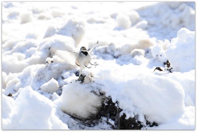 青森県 野鳥 鳥 ハクセキレイ 平川市 猿賀神社 猿賀公園