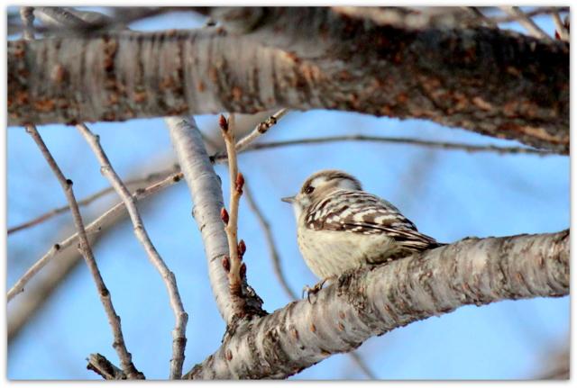 青森県 弘前市 弘前公園 弘前城 野鳥 鳥 写真 コゲラ