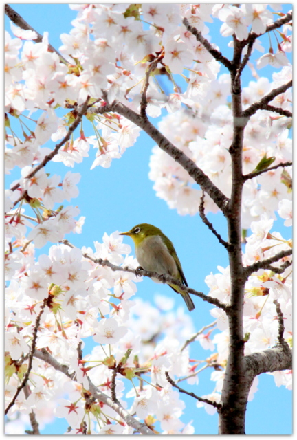 青森県 観光 五所川原市 菊ケ丘運動公園 桜 さくら サクラ 野鳥 鳥の写真 メジロ