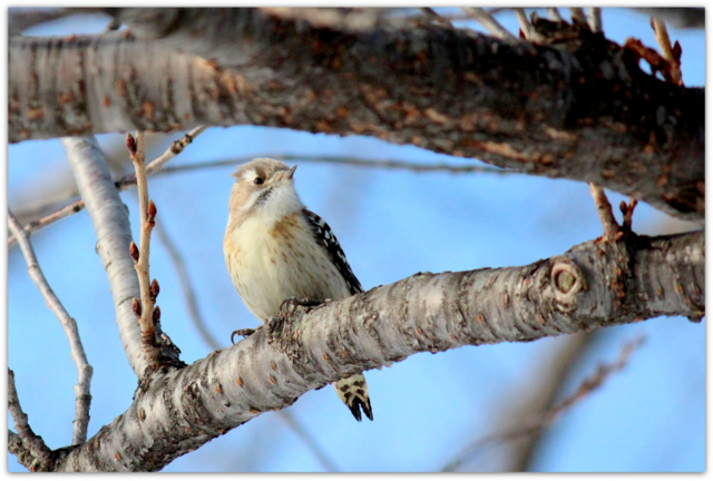 コゲラ 青森県 弘前市 弘前公園 弘前城 野鳥 鳥 写真