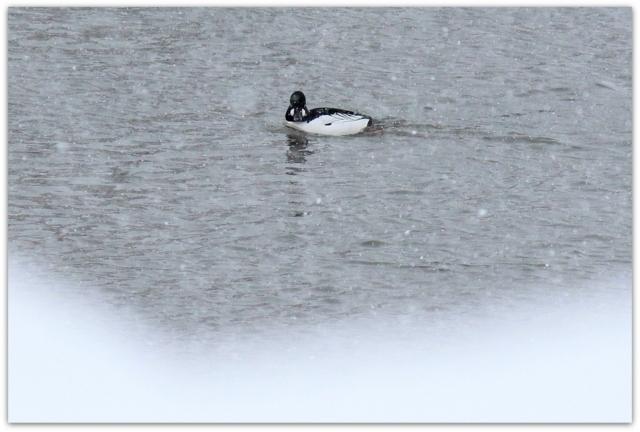 青森県 藤崎町 平川 野鳥 鳥 水鳥 渡り鳥 ホオジロガモ 写真