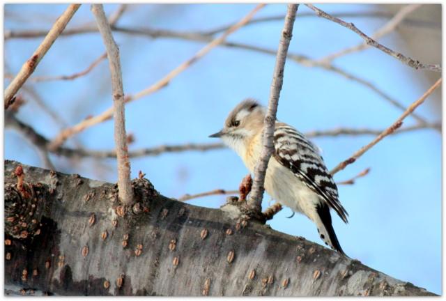 青森県 弘前市 弘前公園 弘前城 野鳥 鳥 コゲラ 写真