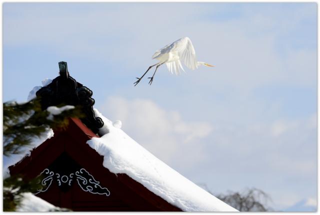 白鷺 ダイサギ 野鳥 鳥 写真 青森県 平川市 猿賀神社 猿賀公園
