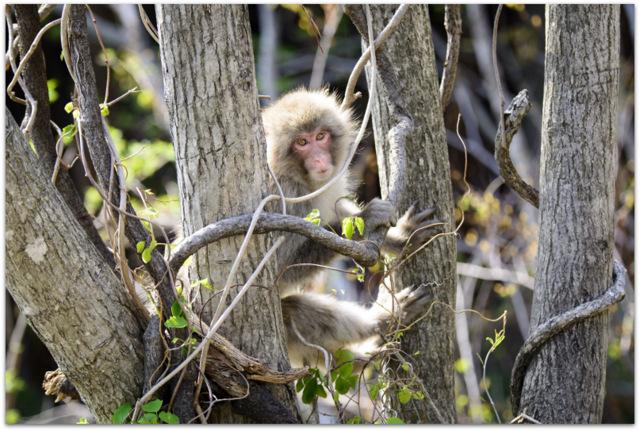 青森県 鰺ヶ沢町 猿 ニホンザル 日本猿