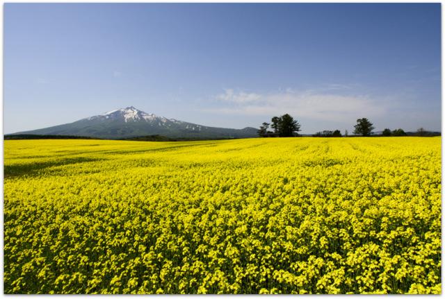 青森県 鰺ヶ沢町 観光 山田野 菜の花畑