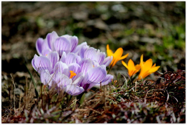 クロッカス 花の写真
