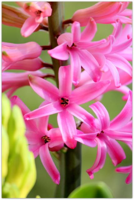 花の写真 ヒアシンス