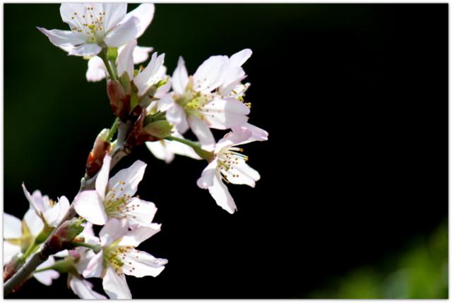 啓翁桜 花の写真