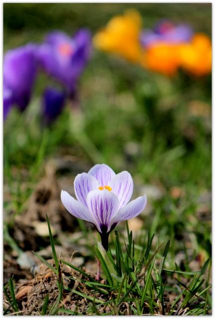 花の写真 クロッカス