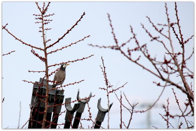 野鳥 鳥 写真 ムクドリ