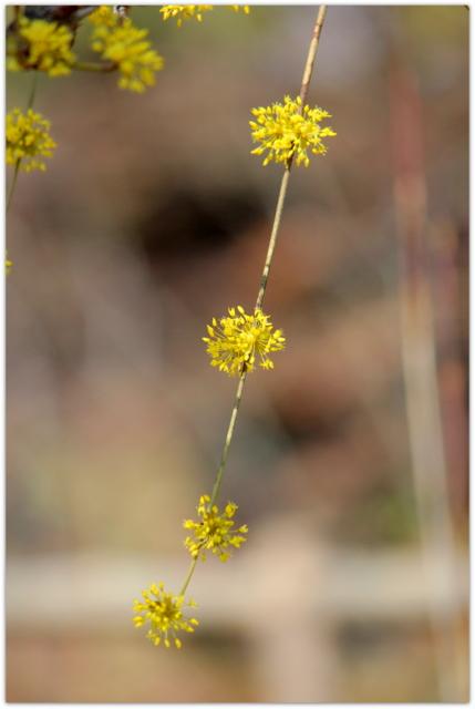 青森県 弘前市 観光 弘前公園 弘前城 花の写真 サンシュユ