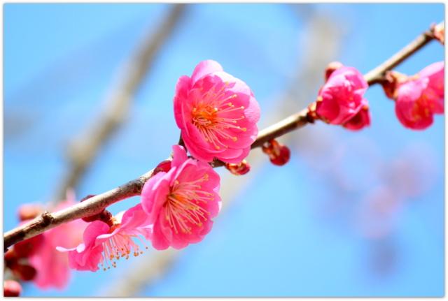青森県 弘前市 弘前城 弘前公園 梅の花 花の写真