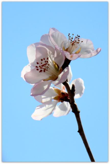 青森県 弘前市 観光 弘前城 弘前公園 ロトウザクラ 花の写真