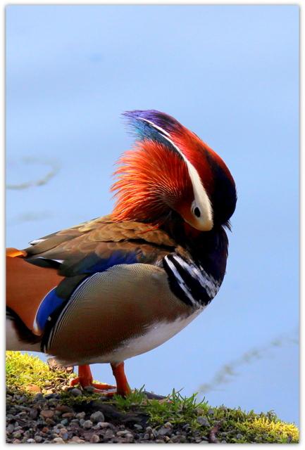 青森県 弘前市 弘前公園 弘前城 野鳥 鳥の写真 オシドリ