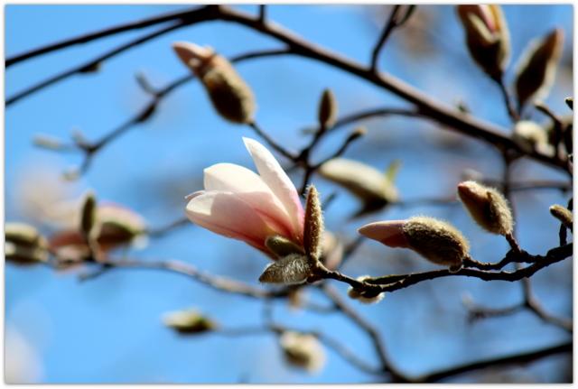 青森県 弘前市 弘前城 弘前公園 モクレン 花の写真
