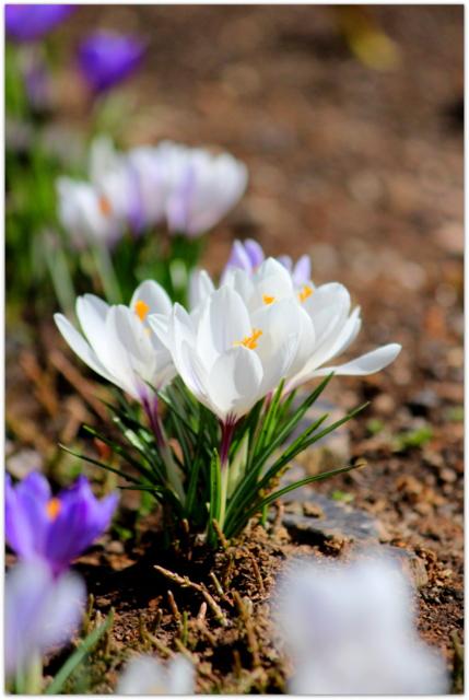 青森県 弘前市 弘前公園 弘前城 クロッカス 花の写真