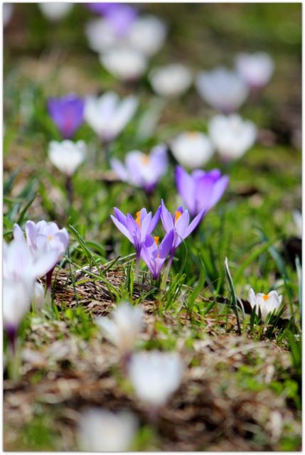 青森県 弘前公園 弘前市 弘前城 花の写真 クロッカス
