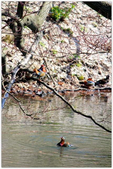 青森県 弘前市 弘前公園 弘前城 野鳥 オシドリ 鳥の写真