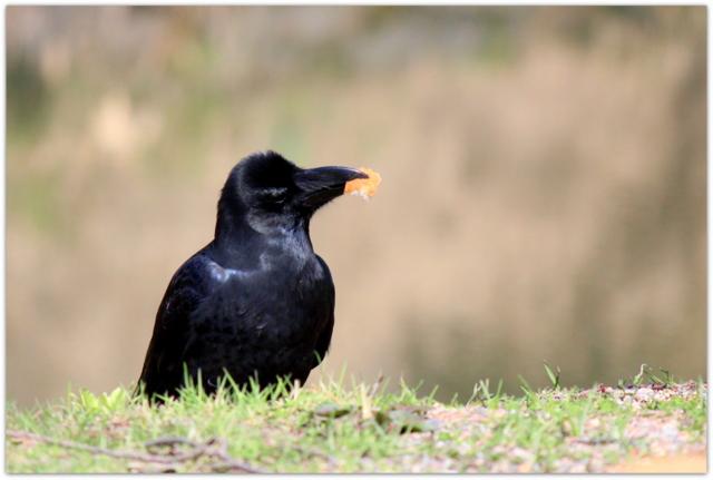 青森県 弘前市 野鳥 鳥の写真 カラス