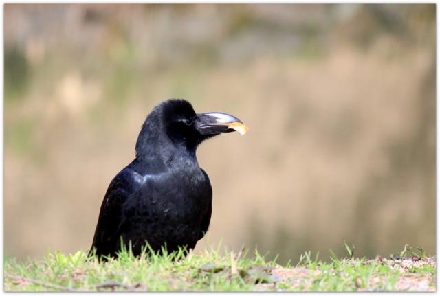 青森県 野鳥 鳥の写真 カラス 弘前市