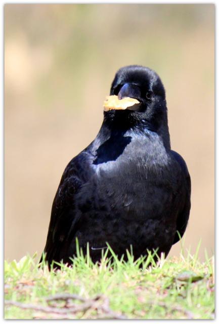 青森県 野鳥の写真 鳥 弘前市 カラス