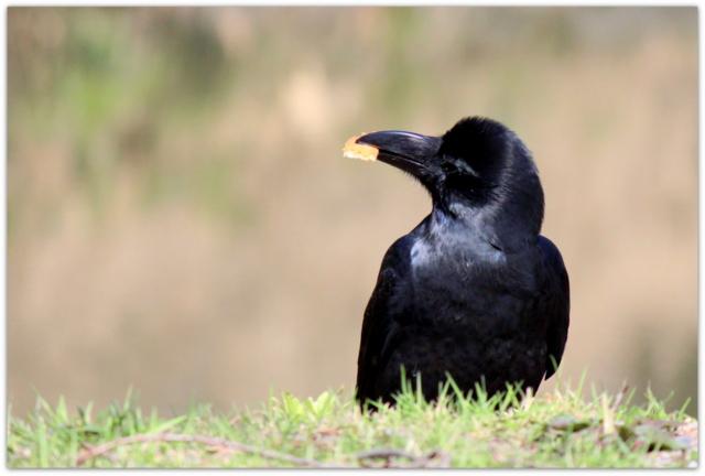 青森県 弘前市 カラス 野鳥 鳥の写真
