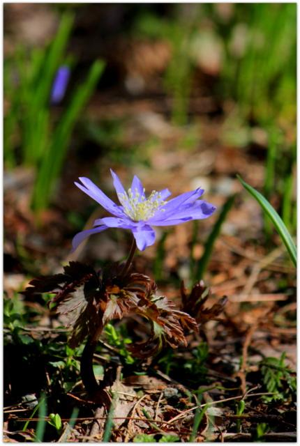 青森県 弘前市 弘前公園 弘前城 弘前城植物園 花の写真 キクザキイチゲ