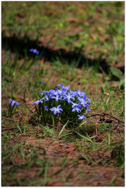 青森県 弘前市 観光 弘前公園 弘前城 弘前城植物園 花の写真 チオノドクサ