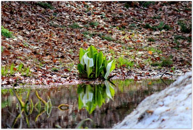 青森県 弘前市 弘前公園 弘前城 観光 花の写真 ミズバショウ 水芭蕉