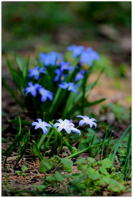 花の写真 チオノドクサ 青森県 弘前市 観光 弘前城 弘前城植物園 弘前公園