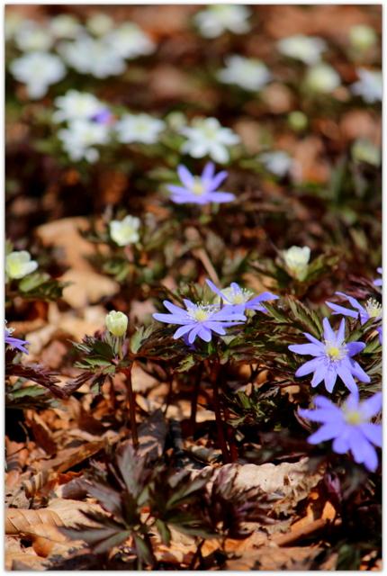 青森県 弘前市 観光 弘前城 弘前公園 弘前城植物園 キクザキイチゲ 花の写真