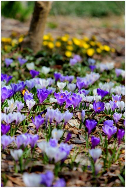 青森県 弘前市 観光 弘前公園 弘前城 弘前城植物園 花の写真 クロッカス