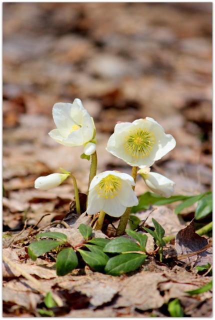 青森県 弘前市 弘前城 弘前公園 弘前城植物園 花の写真 クリスマスローズ