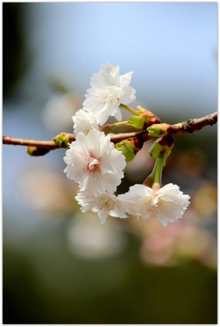 青森県 弘前市 弘前城 弘前公園 花の写真 子福桜 こぶくざくら 観光
